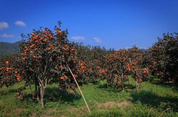 """Những vườn hồng trĩu quả tại Đà Lạt như muốn mời du khách đến và """"thưởng thức"""""""